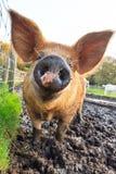 Piggy рыльце Стоковые Изображения