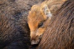 Piggy спать между им родители Стоковая Фотография RF