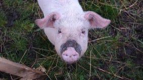 Piggy Стоковая Фотография