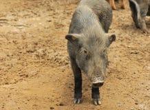 Piggy Royalty Free Stock Image