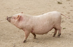 Piggy. Pigs are highly social and intelligent animals Stock Images
