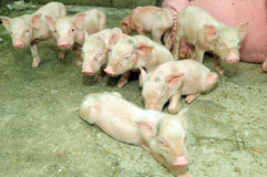 Piggy Lizenzfreie Stockbilder