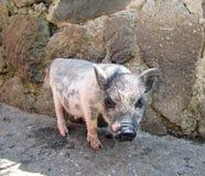 Piggy Stock Foto's