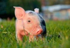 piggy Στοκ εικόνα με δικαίωμα ελεύθερης χρήσης