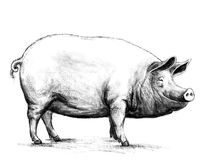 Piggy. Drawing of a pig character, made in Photoshop Royalty Free Stock Images