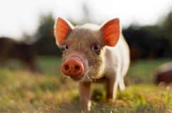 Piggy. Young pig Stock Image