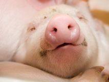 Piggy Stock Photography