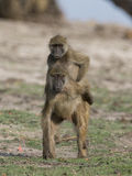 Piggy back riding time. Two young baboons riding on each other's back and playing together Stock Photography