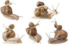 Piggy back snails Stock Image
