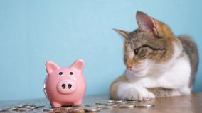 Piggy bank and cat teamwork funny video money concept finance business accounting. Money cat accountant financier pet. Pile growing money and piggy bank. hand stock video