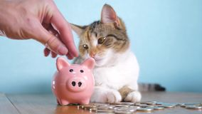 Piggy bank and cat teamwork funny video money concept finance business accounting. Money cat pet pile growing money and. Piggy bank. hand puts coins in a piggy stock footage