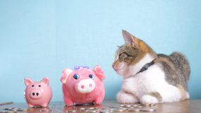 Piggy bank and cat teamwork funny video money concept finance business accounting. Money cat pet pile growing money and. Two piggy banks. hand puts coins in a stock video footage