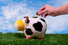Piggy bank. Hand throwing a coin into a piggy bank of a cow esobre fresh green grass and a blue sky and coun silky clouds Royalty Free Stock Photo