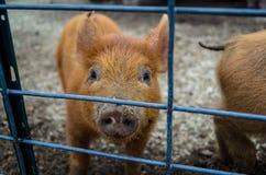Piggy Royalty Free Stock Photos