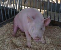 Piggy dreef en niet zeker te doen wat in het nauw royalty-vrije stock foto's