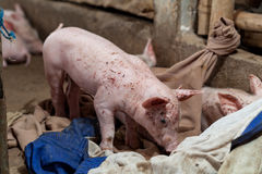 Piggy för att ett hörn ska sova Royaltyfri Fotografi