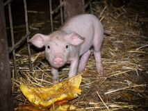 Piggy farm Royalty Free Stock Images