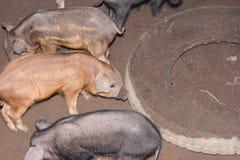 Piggy im Schweinestall Lizenzfreie Stockfotos