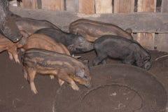 Piggy im Schweinestall Lizenzfreie Stockfotografie