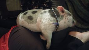 Piggy Laying Awkwardly on Couch Royalty Free Stock Photography