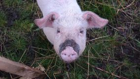 A piggy. A little dirty piggy looking up to the camera Stock Photography