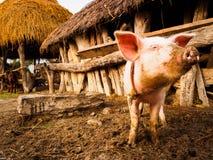 Piggy Stock Image