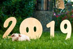 Piggy lying on green grace, near decorative numbers of 2019. stock photography