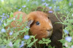 Piggy in a meadow. A guinea pig in a meadow of blue flowers Stock Photography
