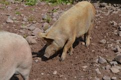 Piggy in the mud Stock Photography