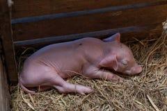 Piggy newborn спать в свинарнике для newborn свиньи Стоковое Фото