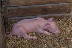 Piggy newborn спать в свинарнике для newborn свиньи Стоковые Изображения