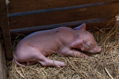 Piggy newborn sleeping in a pigsty for newborn pig. stock photo