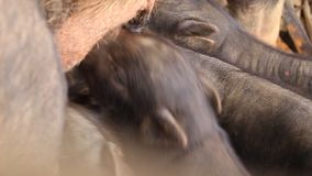 Piggy stock footage
