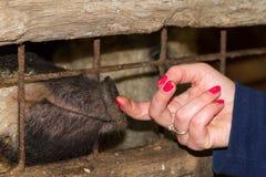 Piggy Schnauze stockfotografie