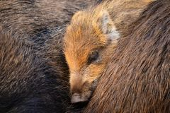 Piggy sleeping between it's parents Royalty Free Stock Photography