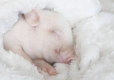 Cute pig sleeps on a striped blanket. Christmas pig stock photos