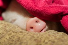 Cute pig sleeps on a striped blanket. Christmas pig royalty free stock image