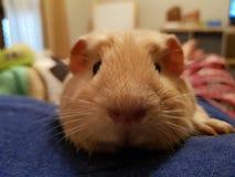 Piggy smilies Royaltyfri Fotografi