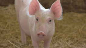 Piggy on straw background. stock footage