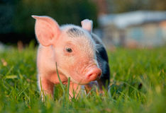 Piggy. Royalty Free Stock Image