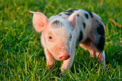 Piggy. stock photo