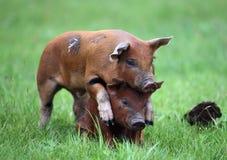Piggyback Obraz Stock