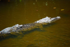 Piggyback on Momma Gator Royalty Free Stock Photos
