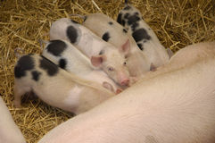 Piggys. Baby pigs eating while one of them posing Royalty Free Stock Photography
