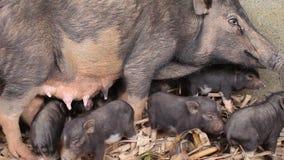 五piggys 影视素材
