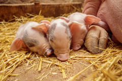 Piggys sur le fond de la mère Image libre de droits