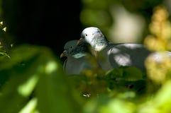Pigions in der Liebe stockfoto