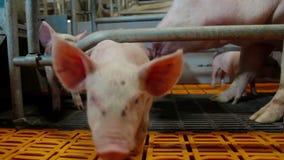 Piglest na exploração agrícola de porco video estoque