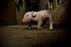 Piglet. A day old piglet trying to walk for first time Royalty Free Stock Images