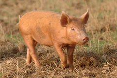 A Piglet. In a field stock photography